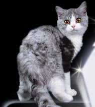 Brilliant Spark Cattery :: Selkirk-rex & british shorthaired cats